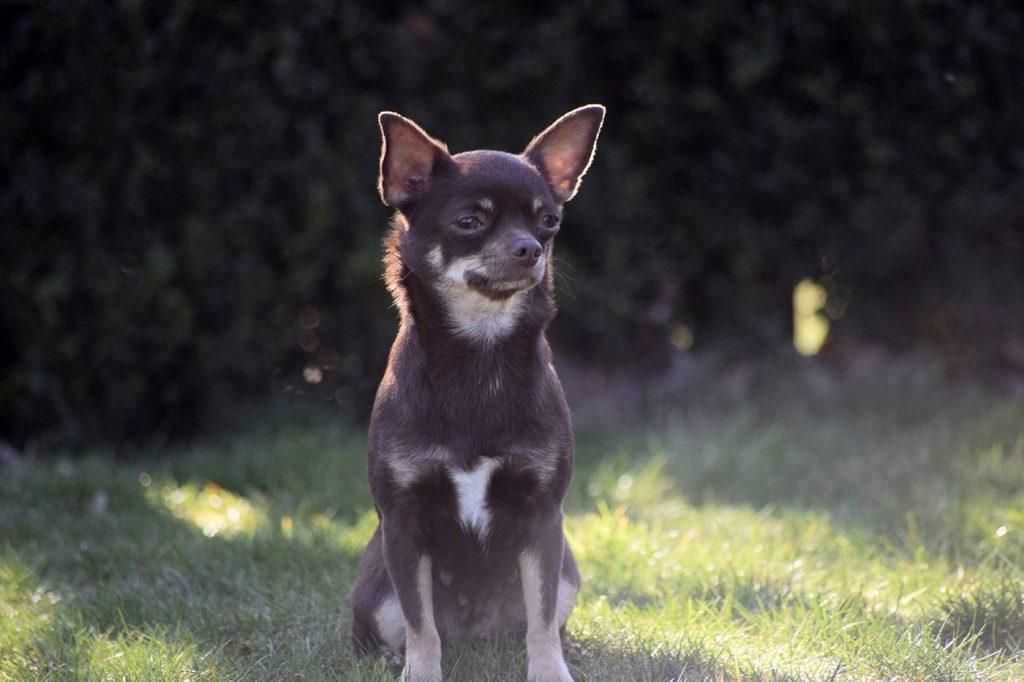 Chihuahua Hündin Doreen aus der Elbtalaue